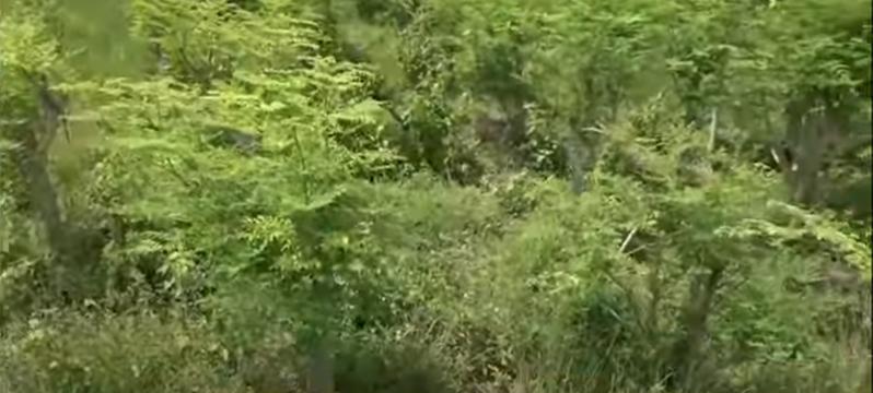 Morina Leaves, Moringa Tress